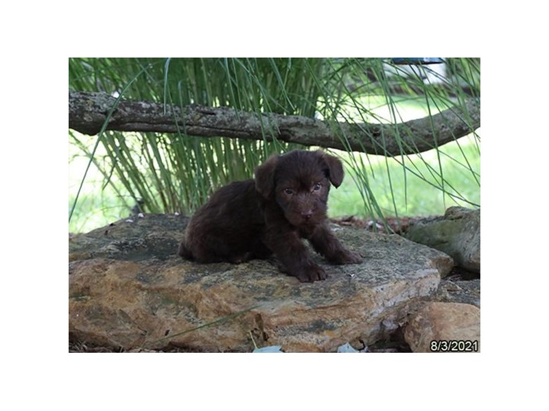Schoodle-DOG-Male-Chocolate-3284552-PetCenter Old Bridge Puppies For Sale