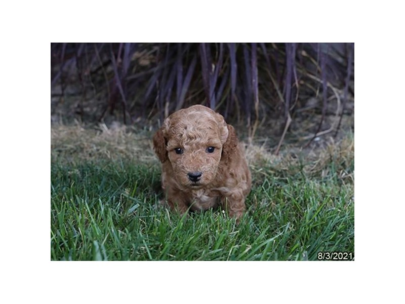 Poodle- Available 9/2-DOG-Female-Apricot-3284557-PetCenter Old Bridge Puppies For Sale