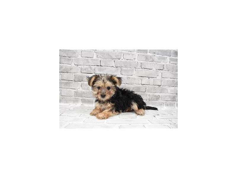 Morkie-Female-Black and Tan-3285662-PetCenter Old Bridge Puppies For Sale
