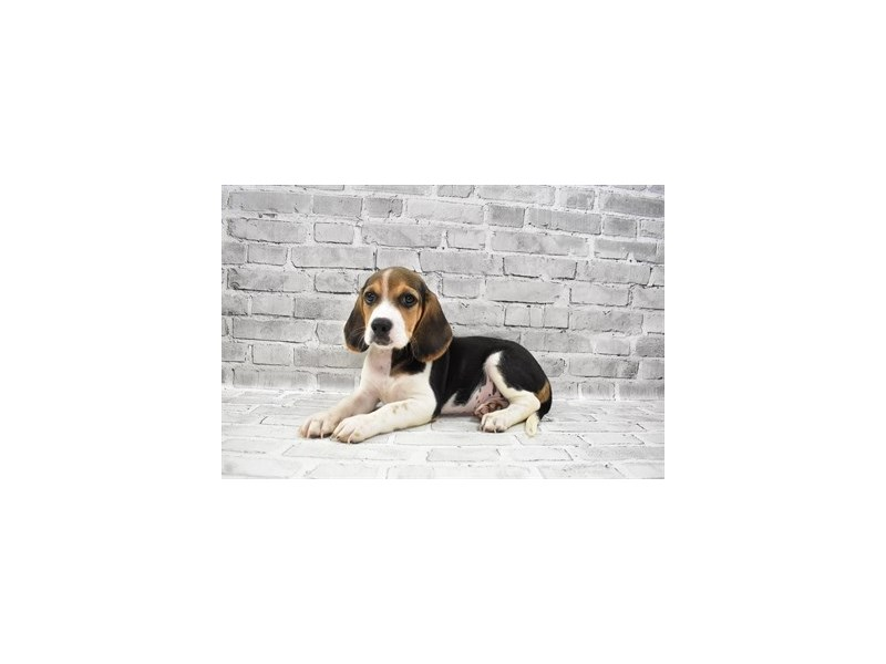 Beagle-Male-Black White and Tan-3285741-PetCenter Old Bridge Puppies For Sale