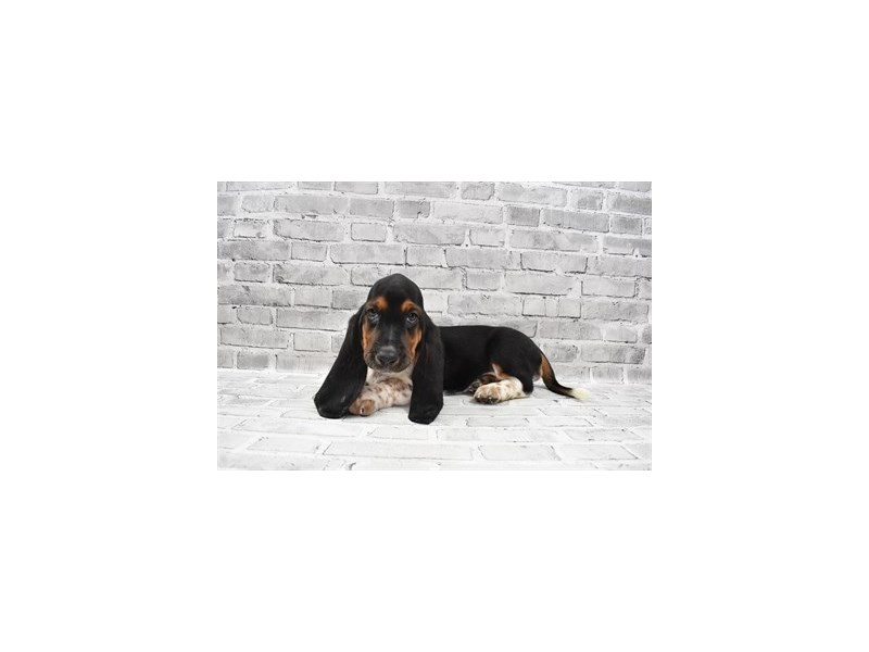 Basset Hound-Female-Black White and Tan-3285749-PetCenter Old Bridge Puppies For Sale