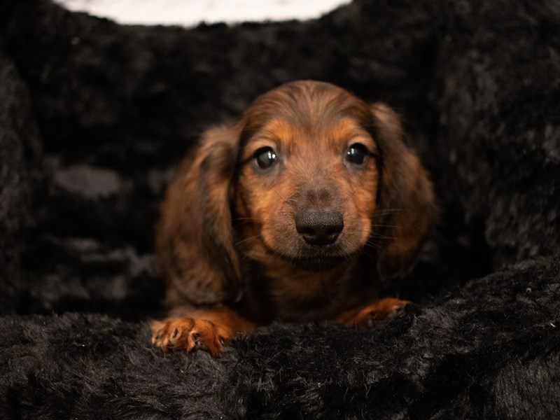 Dachshund-Male-Red-3285779-PetCenter Old Bridge Puppies For Sale