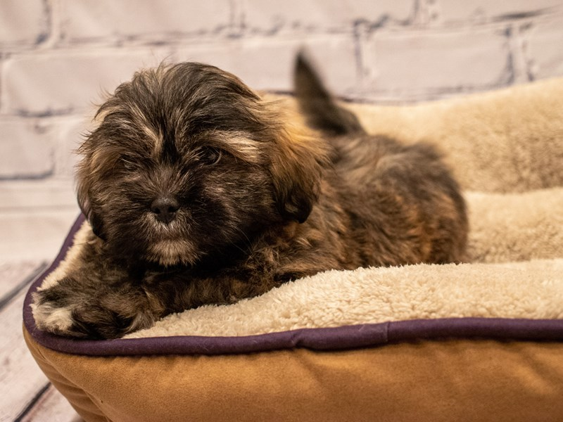 Lhasa Apso-DOG-Male-Grizzle-3285689-PetCenter Old Bridge Puppies For Sale