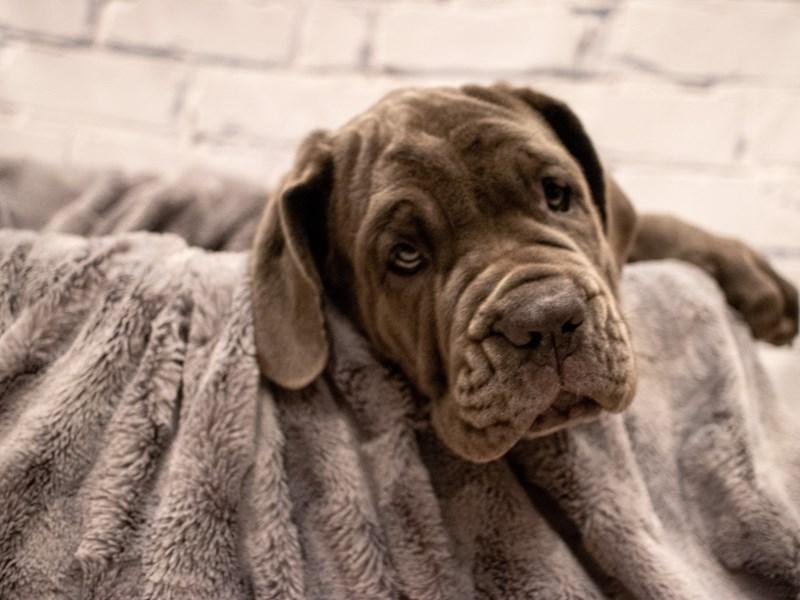 Neapolitan Mastiff- Available 9/2-DOG-Female-Blue-3284556-PetCenter Old Bridge Puppies For Sale