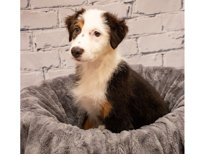 Australian Shepherd- Available 9/2-DOG-Female-Black-3282609-PetCenter Old Bridge Puppies For Sale