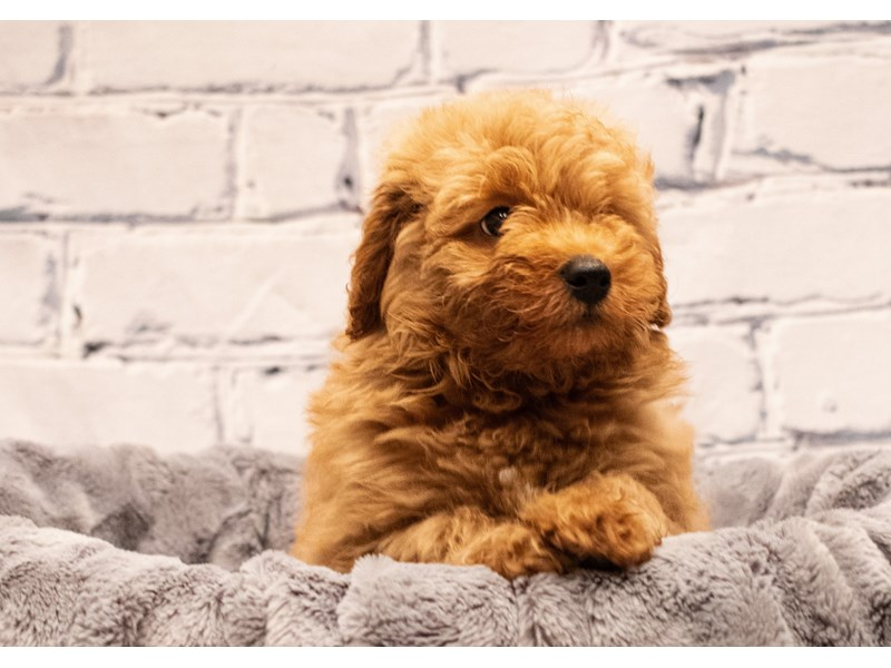 Mini Goldendoodle 2nd Gen-DOG-Male-Red-3285708-PetCenter Old Bridge Puppies For Sale