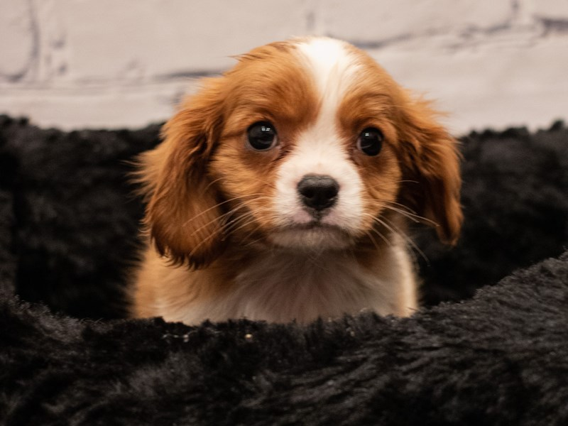 Cavalier King Charles Spaniel-Male-Blenheim-3285799-PetCenter Old Bridge Puppies For Sale