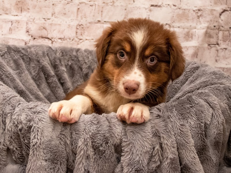 Australian Shepherd- Available 9/9-DOG-Female-Red-3293663-PetCenter Old Bridge Puppies For Sale