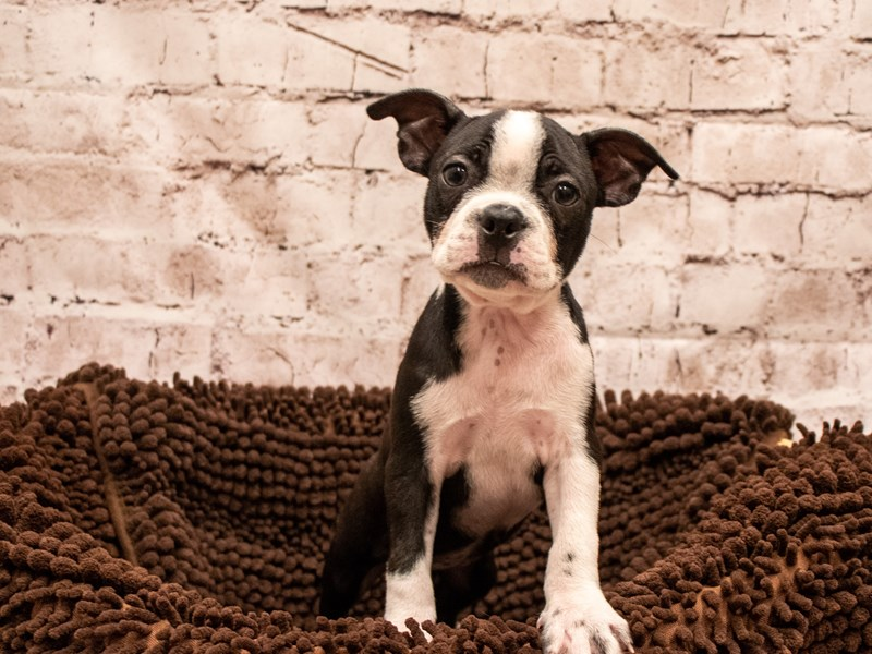 Boston Terrier- Available 9/9-DOG-Female-Black and White-3295357-PetCenter Old Bridge Puppies For Sale