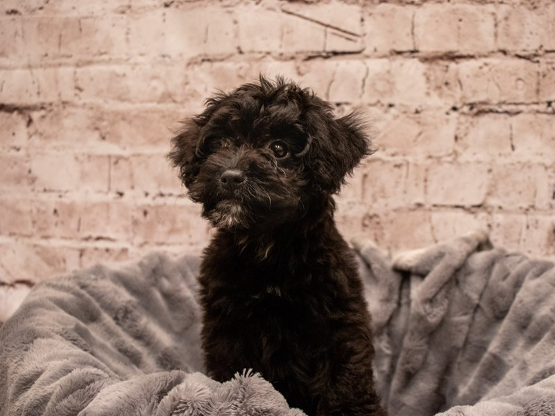 Aussiepoo- Available 9/9-DOG-Female-Black-3295343-PetCenter Old Bridge Puppies For Sale