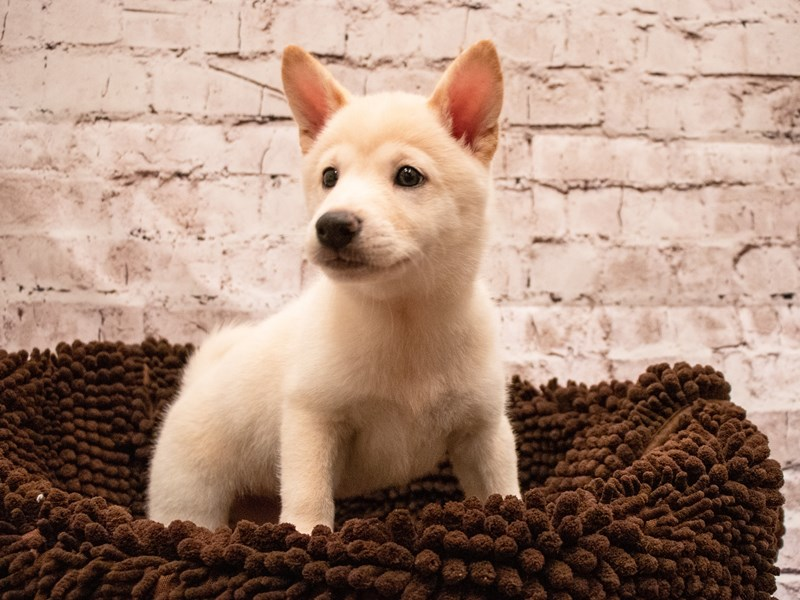 Shiba Inu- Available 9/9-DOG-Female-Cream-3295333-PetCenter Old Bridge Puppies For Sale