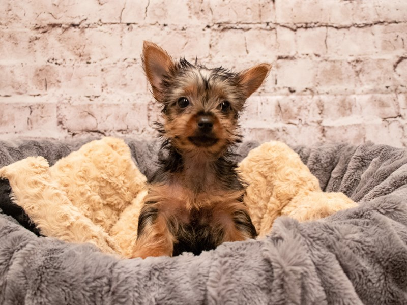 Yorkshire Terrier- Available 9/9-DOG-Female-Black and Tan-3295322-PetCenter Old Bridge Puppies For Sale