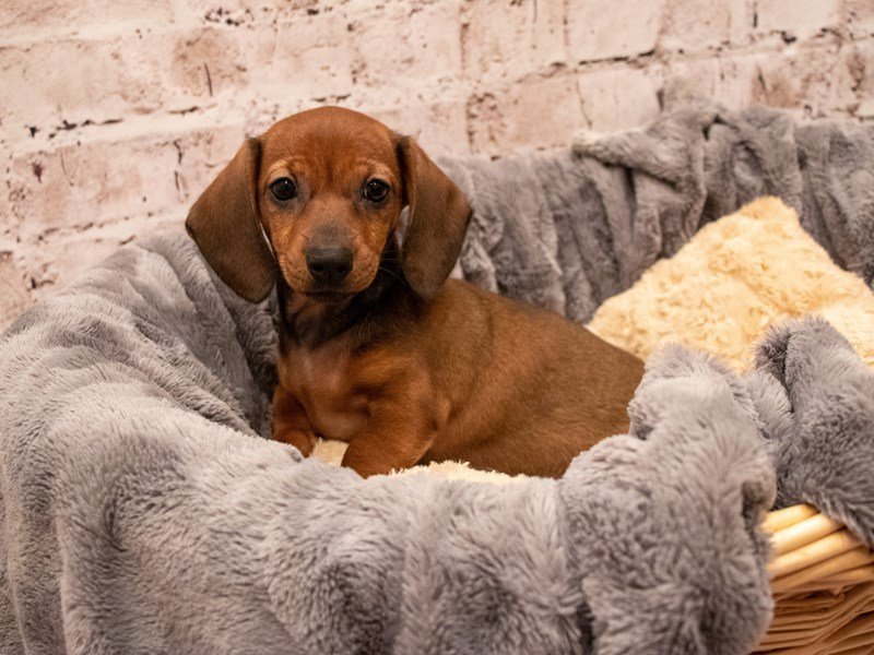 Dachshund- Available 9/9-Female-Red-3295286-PetCenter Old Bridge Puppies For Sale