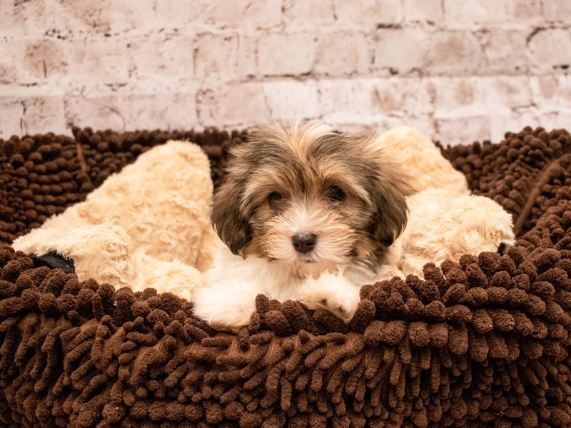 Havanese-DOG-Female-Gold Sable-3295261-PetCenter Old Bridge Puppies For Sale