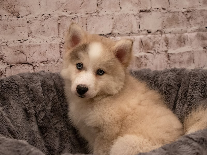 Pomski-DOG-Female-Sable and White-3295251-PetCenter Old Bridge Puppies For Sale