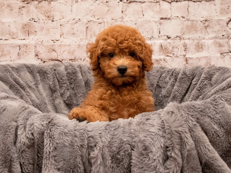 Poodle- Available 9/9-DOG-Male-Red-3294056-PetCenter Old Bridge Puppies For Sale