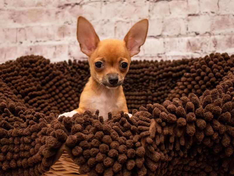 Chihuahua- Available 9/9-DOG-Male-Fawn Sable-3293667-PetCenter Old Bridge Puppies For Sale