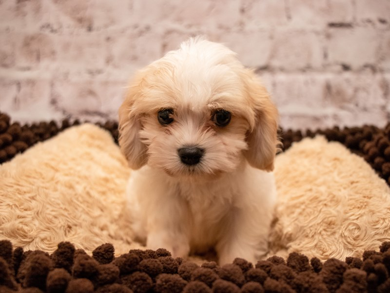 Cavachon- Available 9/9-DOG-Female-Blenheim-3294057-PetCenter Old Bridge Puppies For Sale