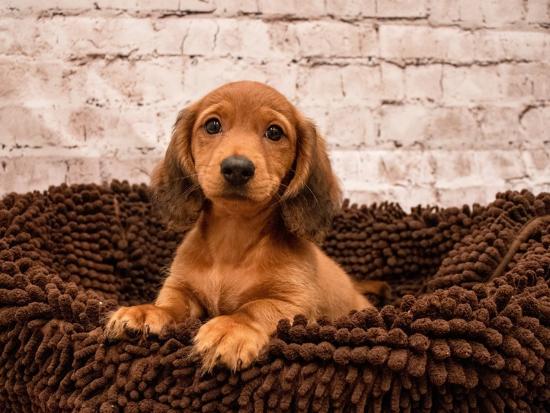 Dachshund- Available 9/9-DOG-Male-Red-3295327-PetCenter Old Bridge Puppies For Sale