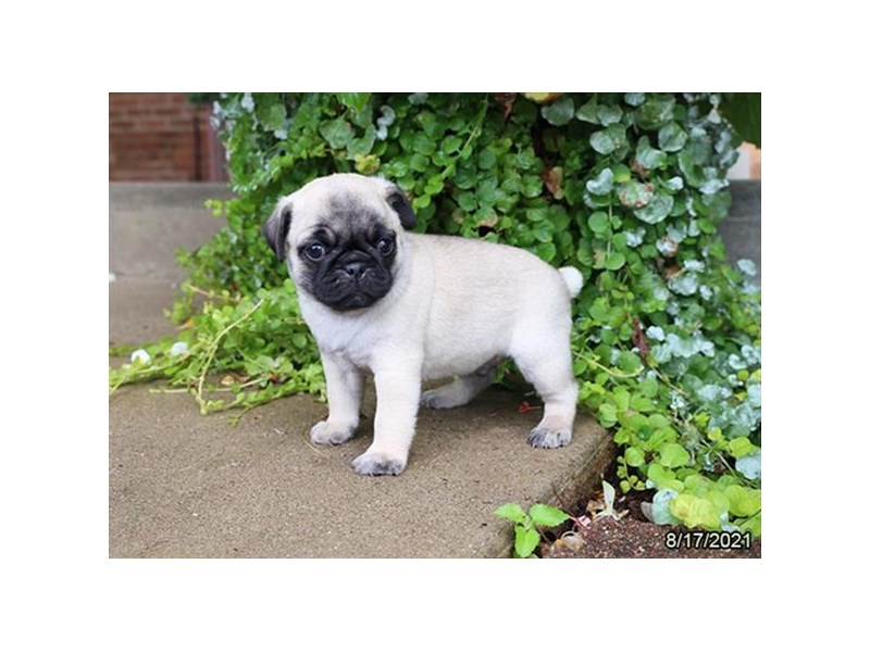 Pug- Available 9/16-DOG-Male-Fawn-3303601-PetCenter Old Bridge Puppies For Sale