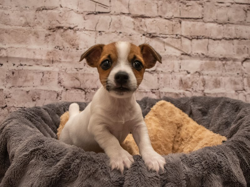 Jack Russell Terrier- Available 9/16-DOG-Male-Brown / White-3303598-PetCenter Old Bridge Puppies For Sale