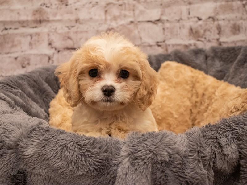 Cavachon- Available 9/16-DOG-Female-Blenheim-3303600-PetCenter Old Bridge Puppies For Sale
