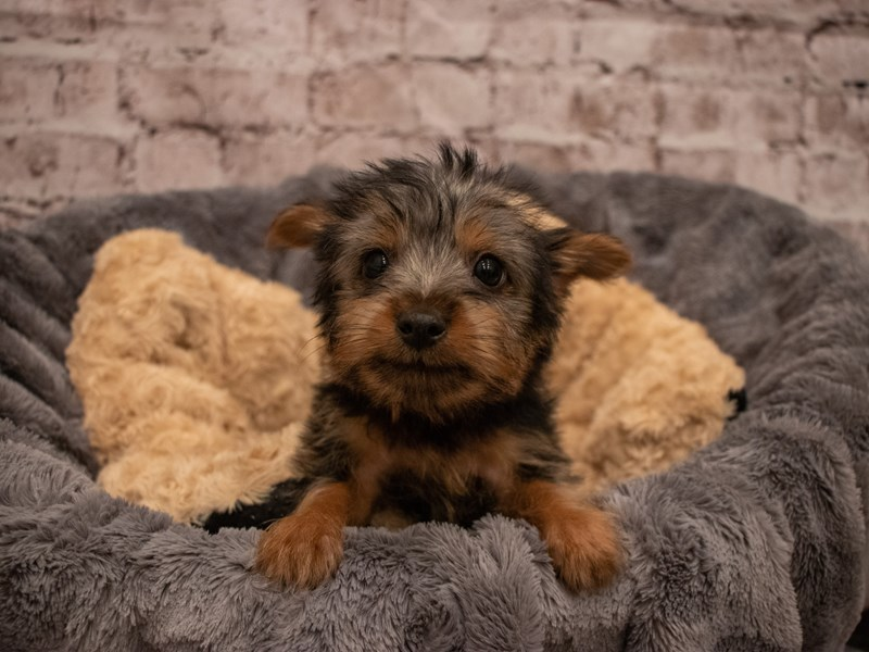 Silky Terrier- Available 9/16-DOG-Male-Black / Tan-3303599-PetCenter Old Bridge Puppies For Sale