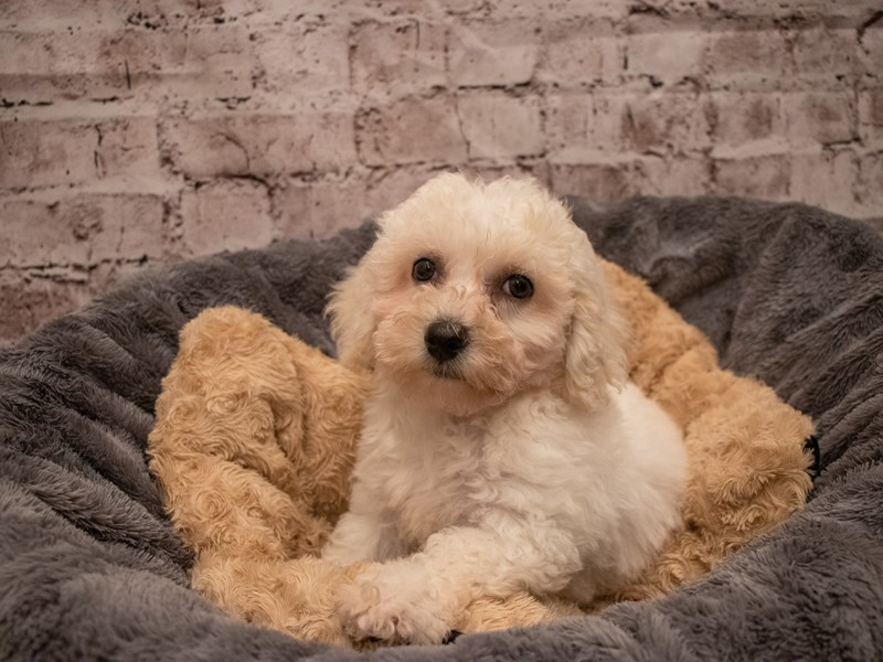 Bichon Frise- Available 9/16-DOG-Male-White-3303629-PetCenter Old Bridge Puppies For Sale