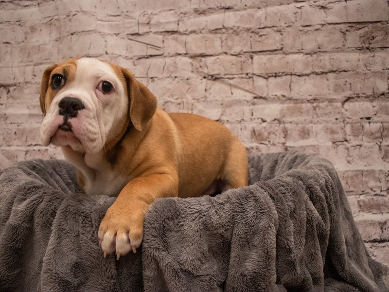 Beabull- Available 7/29-DOG-Female-Red / White-3235450-PetCenter Old Bridge Puppies For Sale