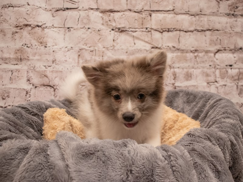 Pomeranian- Available 8/19-DOG-Male-Blue Merle-3266253-PetCenter Old Bridge Puppies For Sale