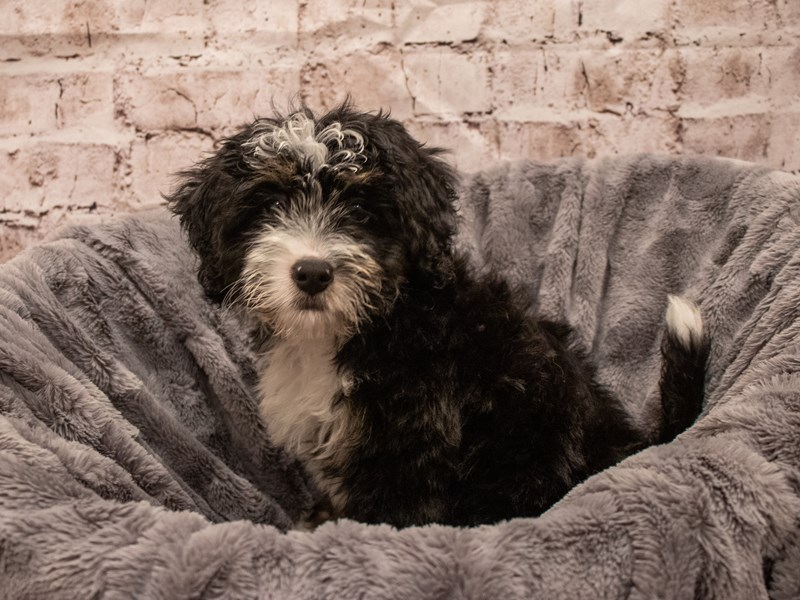 Miniature Bernedoodle- Available 9/16-DOG-Female-Tri Color-3304596-PetCenter Old Bridge Puppies For Sale