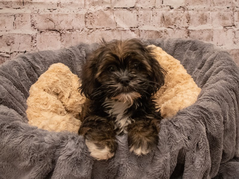 Lhasa Apso- Available 9/16-DOG-Female-Grizzle-3304566-PetCenter Old Bridge Puppies For Sale