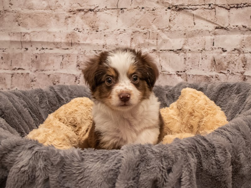 Toy Australian Shepherd- Available 9/16-DOG-Male-Red and Tan-3304748-PetCenter Old Bridge Puppies For Sale