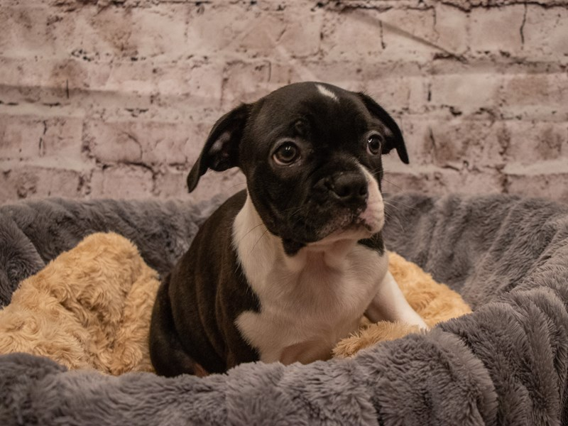 Boston Terrier- Available 9/16-DOG-Male-Black Brindle and White-3304611-PetCenter Old Bridge Puppies For Sale