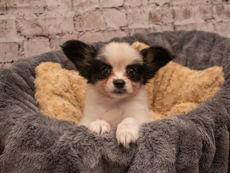 Papillon- Available 9/16-DOG-Male-White Black and Tan-3304488-PetCenter Old Bridge Puppies For Sale