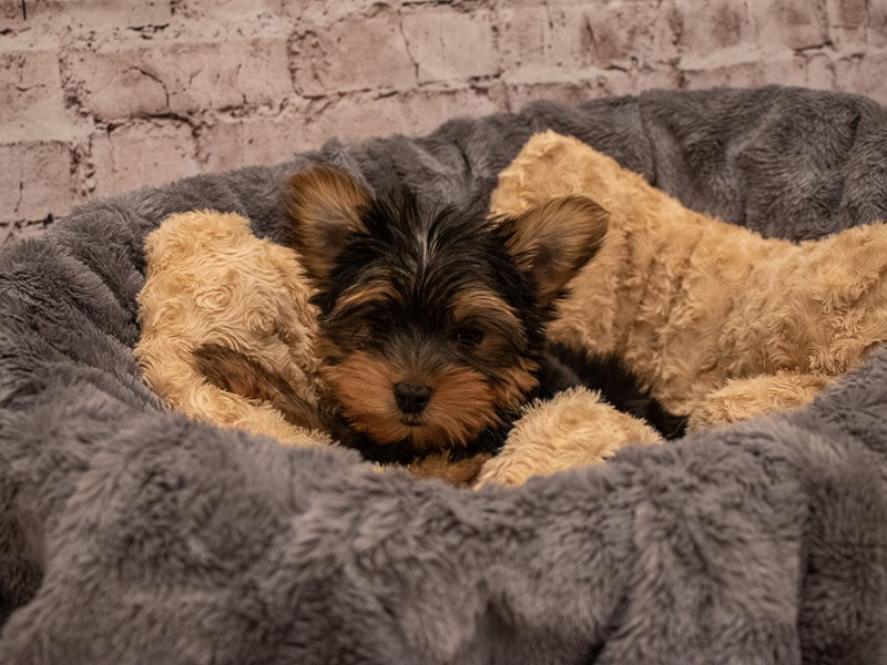 Yorkshire Terrier- Available 9/16-DOG-Male-Black and Tan-3304618-PetCenter Old Bridge Puppies For Sale
