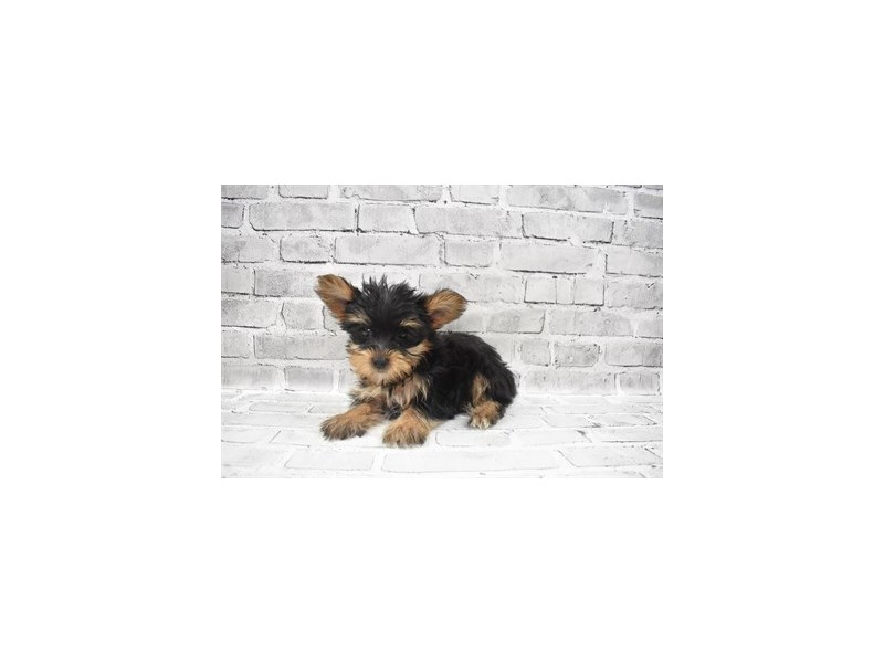 Yorkshire Terrier- Available 9/23-DOG-Female-Black and Tan-3314047-PetCenter Old Bridge Puppies For Sale