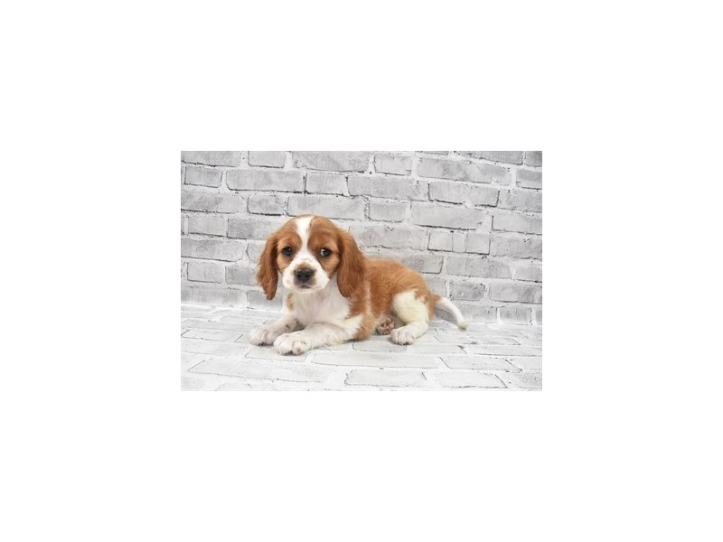 Beaglier- Available 9/23-DOG-Female-Red and White-3314051-PetCenter Old Bridge Puppies For Sale