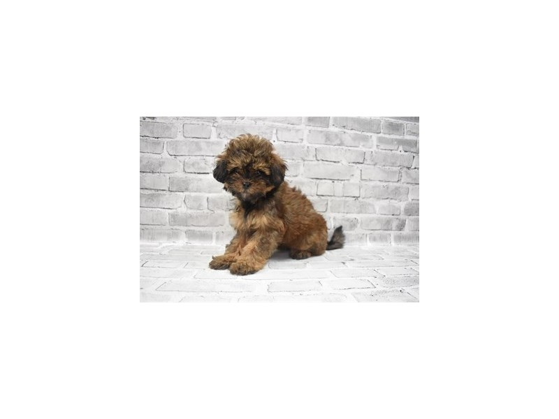Shihpoo- Available 9/23-DOG-Female-Red-3314063-PetCenter Old Bridge Puppies For Sale