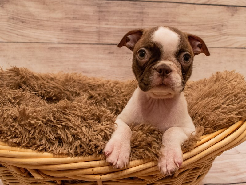 Boston Terrier-Female-Seal / White-3314096-PetCenter Old Bridge Puppies For Sale
