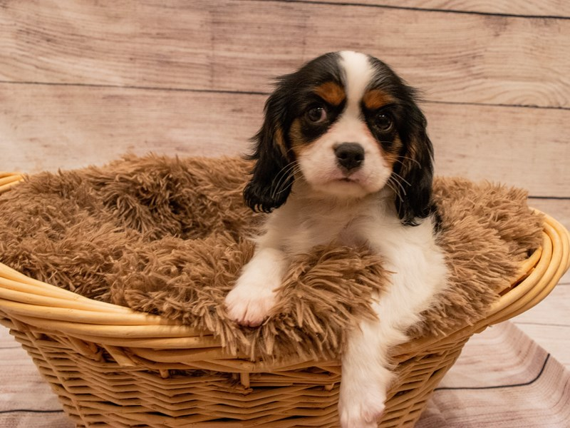 Cavalier King Charles Spaniel- Available 9/23-DOG-Female-Tri-Colored-3314196-PetCenter Old Bridge Puppies For Sale