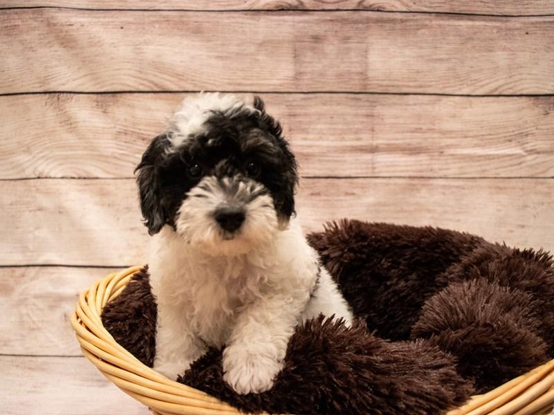 Poodle-Female-Black-3314195-PetCenter Old Bridge Puppies For Sale