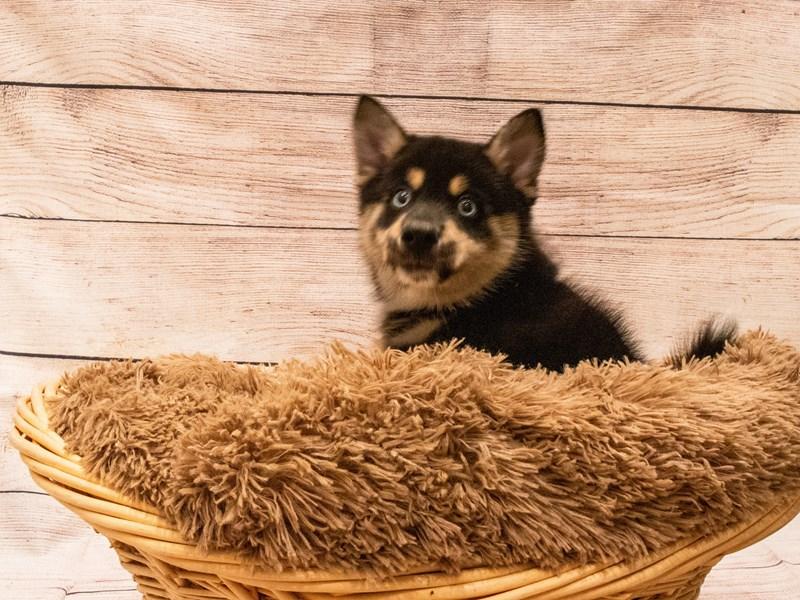 Pomsky-Male-Black-3314093-PetCenter Old Bridge Puppies For Sale