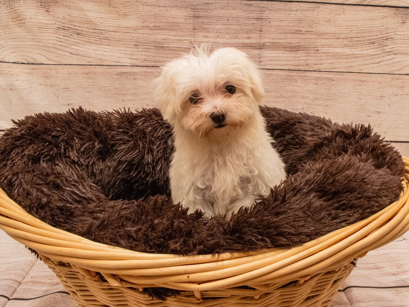 Maltese- Available 9/23-DOG-Female-White-3314070-PetCenter Old Bridge Puppies For Sale