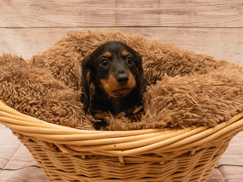 Dachshund- Available 9/23-Male-Black and Tan-3314024-PetCenter Old Bridge Puppies For Sale