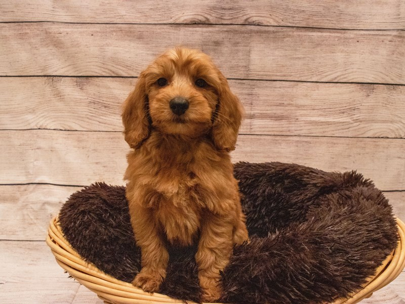 Goldendoodle Mini-DOG-Male-Red-3314094-PetCenter Old Bridge Puppies For Sale