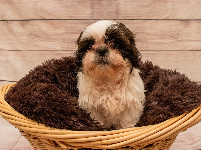 Shih Tzu- Available 9/23-DOG-Male-Red and White-3314158-PetCenter Old Bridge Puppies For Sale
