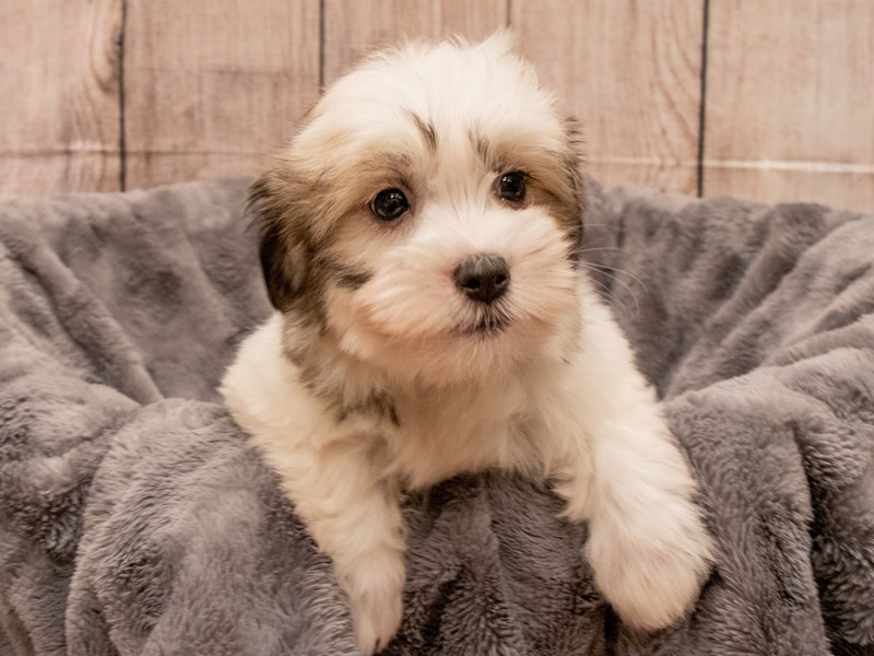 Coton De Tulear- Available 9/30-DOG-Female-Brown / White-3322195-PetCenter Old Bridge Puppies For Sale