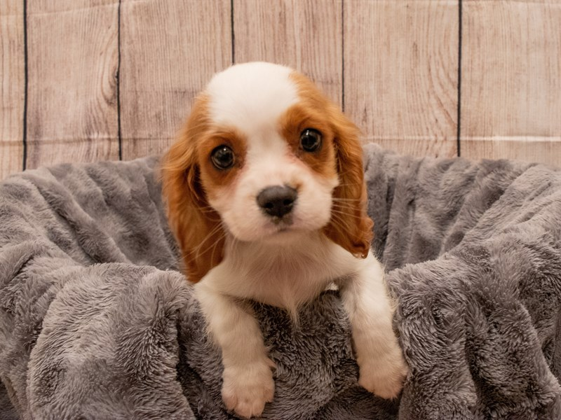Cavalier King Charles Spaniel- Available 9/30-DOG-Male-Blenheim-3322227-PetCenter Old Bridge Puppies For Sale
