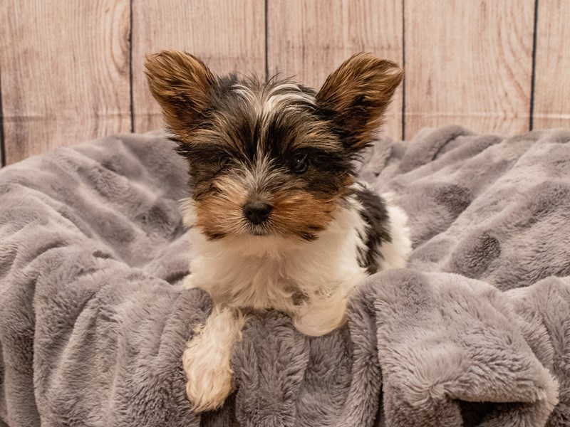 Yorkshire Terrier- Available 9/30-DOG-Male-Black Tan and White-3322284-PetCenter Old Bridge Puppies For Sale